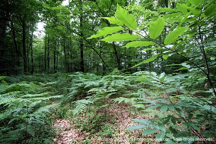 Au coeur de la forêt les fougères